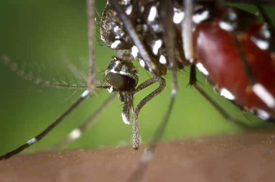 mosquitoes article image